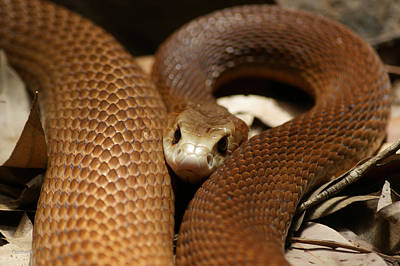 Photograph - East Coast Taipan 10 by Gary Crockett
