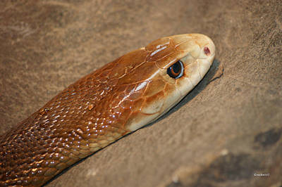 Photograph - East Coast Taipan 11 by Gary Crockett