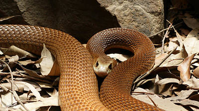 Photograph - East Coast Taipan 9 by Gary Crockett