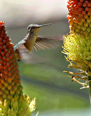 Photograph - East Verde Hummingbird by Matalyn Gardner