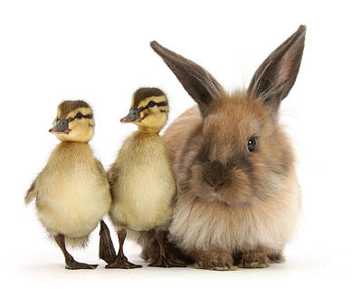 Photograph - Easter Bunny And Duckies by Warren Photographic