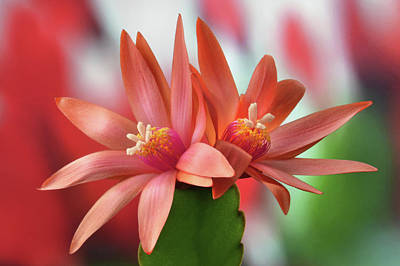 Photograph - Easter Cactus by Terence Davis