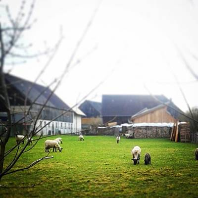 Sheep Photograph - Easter Lamb #lamb #easter #sheep #smitsi by Smitsi Batty