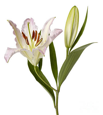 Easter Lilly Art Print by Tony Cordoza