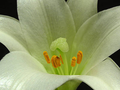 Photograph - Easter Lily Floral by Juergen Roth