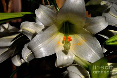 Photograph - Easter Lily by Jacqueline M Lewis
