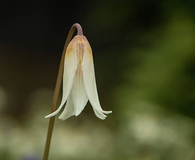 Photograph - Easter Lily  by Marilyn Wilson