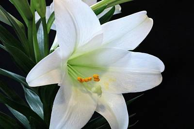 Photograph - Easter Lily On Black by Sheila Brown