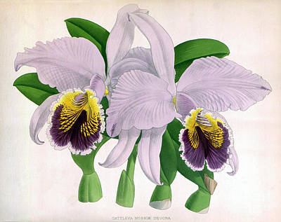 Easter Orchid, C. Mossiae Decora, 1891 Print by Biodiversity Heritage Library
