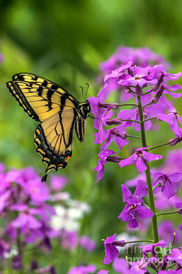 Photograph - Easter Tiger Swallowtail Amongst Wildflowers by Darleen Stry