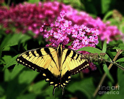 Photograph - Eastern Tiger Swallowtail Butterfly by Dave Nevue