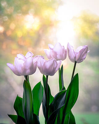 Photograph - Easter Tulips by Ronda Broatch