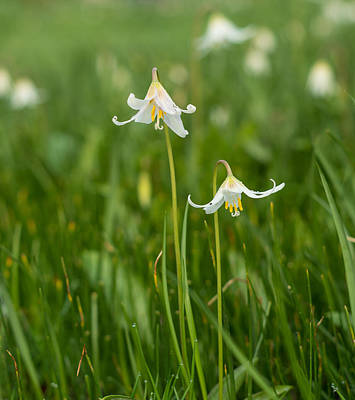 Photograph - Wild Easter Lillies by Marilyn Wilson