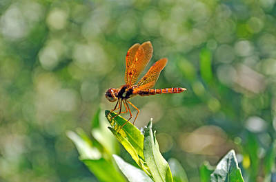 Eastern Amber Wing Dragonfly Art Print by Kenneth Albin