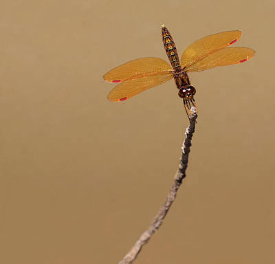 Photograph - Eastern Amberwing by Art Cole