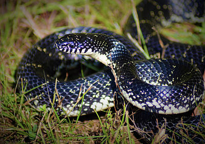Photograph - Eastern Black Kingsnake by Kathy Kelly
