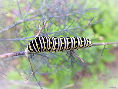 Photograph - Eastern Black Swallowtail Caterpillar  by Hannah Underhill