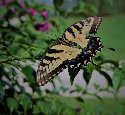 Photograph - Eastern Black Swallowtail by Christopher James