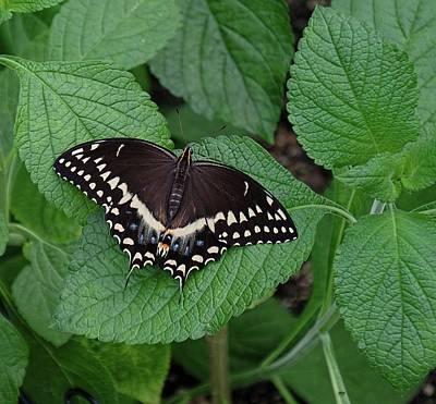 Photograph - Eastern Black Swallowtail by Ronda Ryan