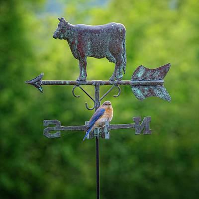 Photograph - Eastern Bluebird 2017 by Bill Wakeley
