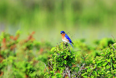 Photograph - Eastern Bluebird 5 by Gary Hall