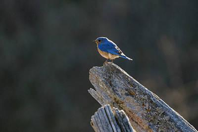 Photograph - Eastern Bluebird 6 by Gary Hall