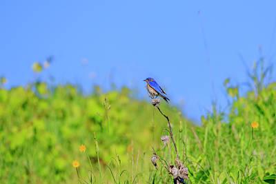 Photograph - Eastern Bluebird 7 by Gary Hall