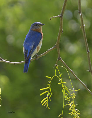 Photograph - Eastern Bluebird by Allen Sheffield