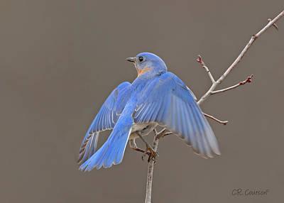 Photograph - Eastern Bluebird by CR Courson
