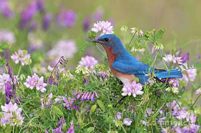 Photograph - Eastern Bluebird - D010120 by Daniel Dempster