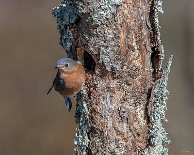 Photograph - Eastern Bluebird Dsb0279 by Gerry Gantt