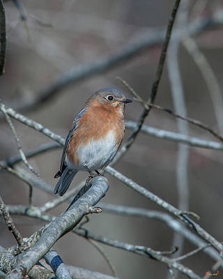 Photograph - Eastern Bluebird Dsb0280 by Gerry Gantt