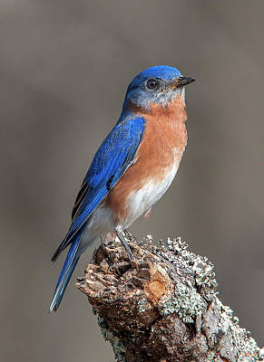 Photograph - Eastern Bluebird Dsb0291 by Gerry Gantt