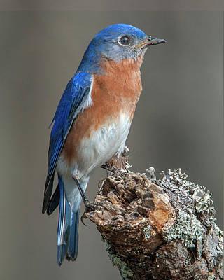 Photograph - Eastern Bluebird Dsb0299 by Gerry Gantt