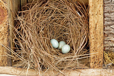 Photograph - Eastern Bluebird Eggs In A Natural Pine Straw Nest by Vizual Studio