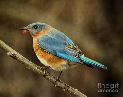 Photograph - Eastern Bluebird by Elizabeth Winter