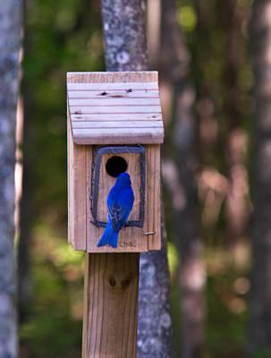 Eastern Bluebird Entering Home Art Print by Douglas Barnett