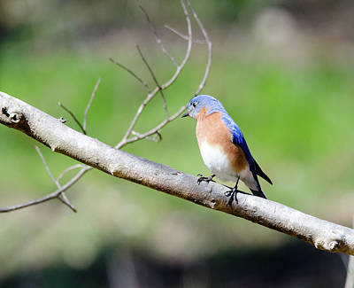 Print featuring the photograph Eastern Bluebird by George Randy Bass