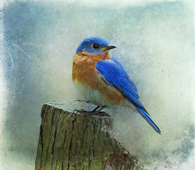 Bluebird Photograph - Eastern Bluebird II by Sandy Keeton