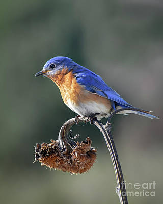 Photograph - Eastern Bluebird In Spring by Amy Porter
