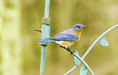 Billiard Balls - Eastern Bluebird by Keith Smith
