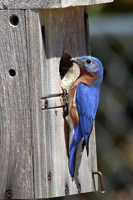 Photograph - Eastern Bluebird by Lamarre Labadie