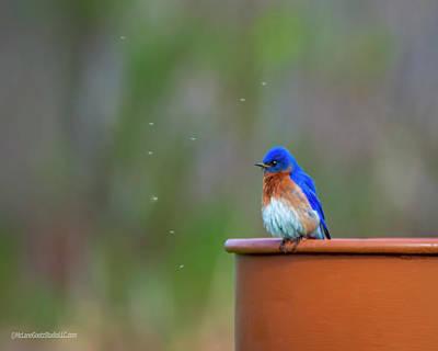 Photograph - Eastern Bluebird by LeeAnn McLaneGoetz McLaneGoetzStudioLLCcom