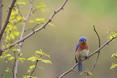 Photograph - Eastern Bluebird by Living Color Photography Lorraine Lynch