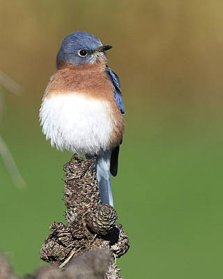 Movies Star Paintings - Eastern Bluebird on a Pine by Arvin Miner
