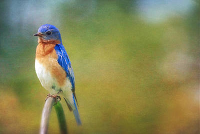 Photograph - Eastern Bluebird Painted Effect by Heidi Hermes