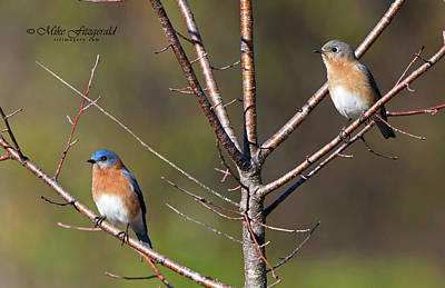 Photograph - Eastern Bluebird Pair by Mike Fitzgerald