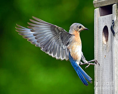 Photograph - Eastern Bluebird - Papa by Sue Stefanowicz