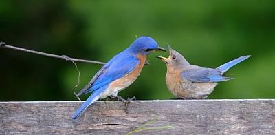Photograph - Eastern Bluebird by Peggy McDonald