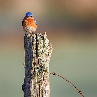 Bluebird Photograph - Eastern Bluebird Portrait Square by Bill Wakeley